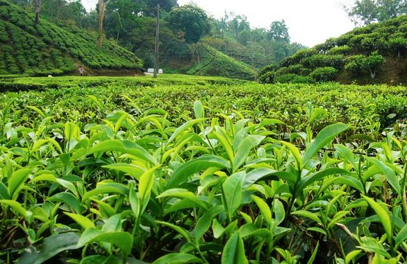 Dooars-Terai-Garden